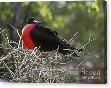 Canvas Print featuring the photograph Male Frigate Bird - Galapagos by Craig Lovell