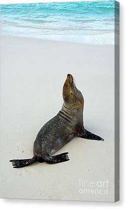 Male Galapagos Sea Lion Standing On Beach Canvas Print by Sami Sarkis