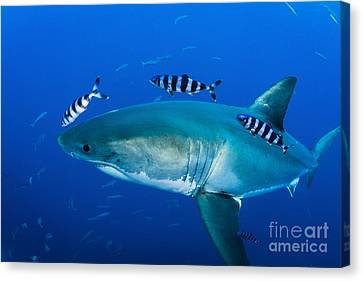 Male Great White Shark And Pilot Fish Canvas Print by Todd Winner