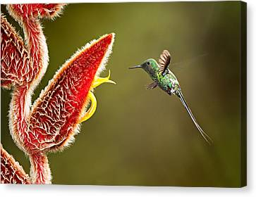 Green Thorntail Canvas Print - Male Green Thorntail Hummingbird by Hali Sowle