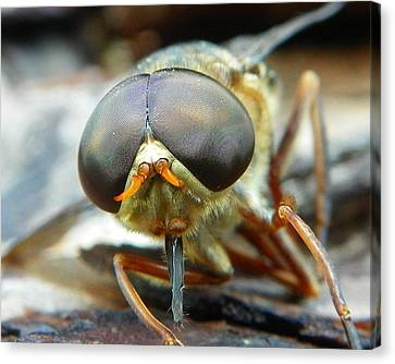 Canvas Print featuring the photograph Male Horse Fly by Chad and Stacey Hall