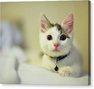 Male Kitten Sitting On Bed Canvas Print by Nazra Zahri