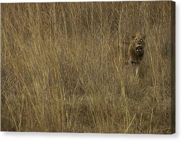 Male Lion Lets His Presence Be Known Canvas Print by Jason Edwards