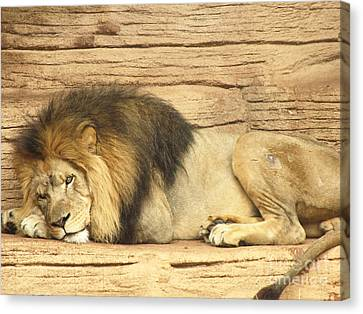 Male Lion Resting Canvas Print