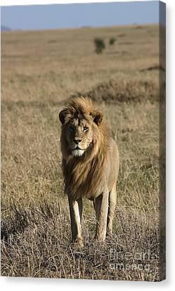 Male Lion's Gaze Canvas Print by Darcy Michaelchuk