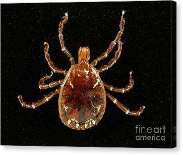 Male Lone Star Tick Canvas Print by Science Source
