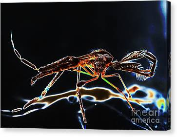 Male Mosquito Enhanced Canvas Print by Lynda Dawson-Youngclaus