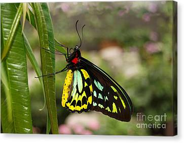 Canvas Print featuring the photograph Male New Guinea Birdwing Butterfly by Eva Kaufman