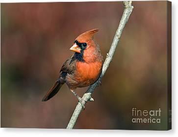 Male Northern Cardinal - D007813 Canvas Print