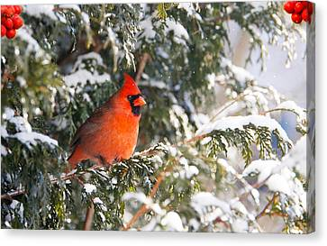 Male Northern Cardinal. Canvas Print by Kelly Nelson