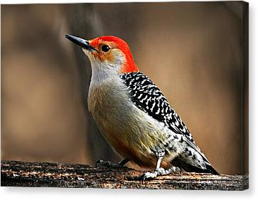 Male Red-bellied Woodpecker 4 Canvas Print by Larry Ricker