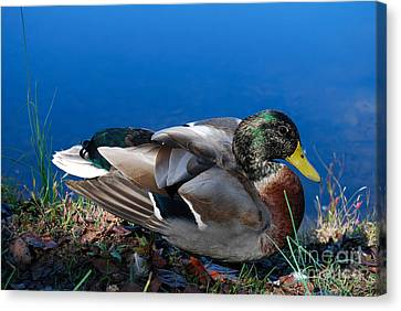 Canvas Print featuring the photograph Mallard On River Bank by Eva Kaufman