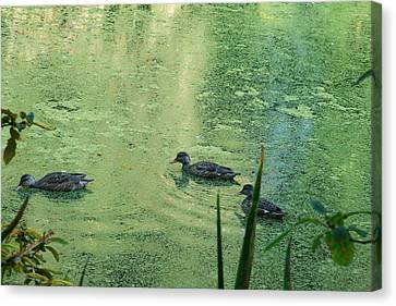 Mallards Feeding Canvas Print by Steven A Bash