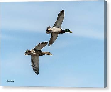 Mallards In Flight Canvas Print by Stephen  Johnson
