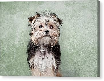 Maltese Mix On  Green Background Canvas Print by Chad Latta