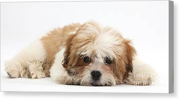 White Maltese Canvas Print - Maltese Shih-tzu Mix Puppy Lying Down by Mark Taylor
