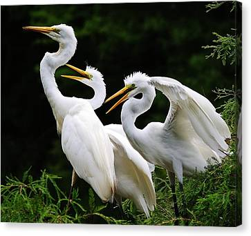 Mama Egrets With Her Babies Canvas Print by Paulette Thomas