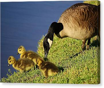 Mama Geese With Her Babies Canvas Print by Paulette Thomas