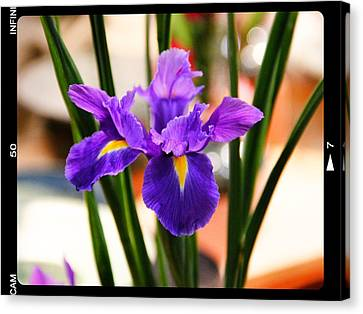 Canvas Print featuring the photograph Mamas Iris by Alice Gipson