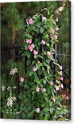 Mandevilla Vine With Pink Flowers Canvas Print