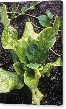 Mandrake (mandragora Officinarum) Canvas Print by Adrian Thomas