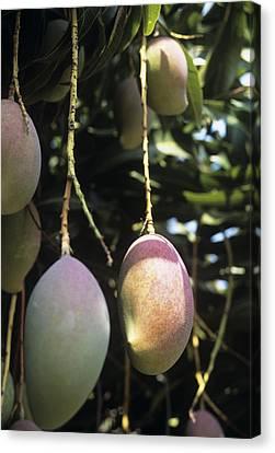 Mango Fruit Canvas Print by Veronique Leplat