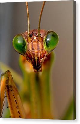Mantis Eyes Canvas Print by William Jobes