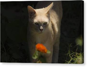 Many Moods Of Kitty Canvas Print by Kim Henderson