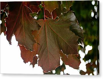 Canvas Print featuring the photograph Maple 2 by Tikvah's Hope