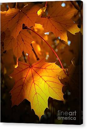Maple At First Light Canvas Print by Sue Stefanowicz