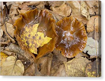 Maple Leaf And Mushrooms Canvas Print by Tom Bushey