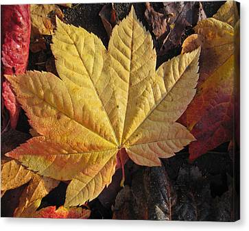 Maple Leaf Close Up  Canvas Print by Robert  Perin