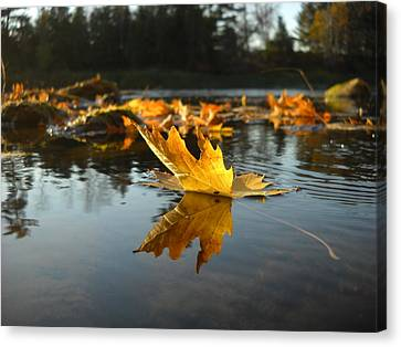 Maple Leaf Floating In River Canvas Print by Kent Lorentzen