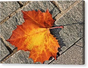 Maple Leaf In Fall Canvas Print by Carolyn Marshall