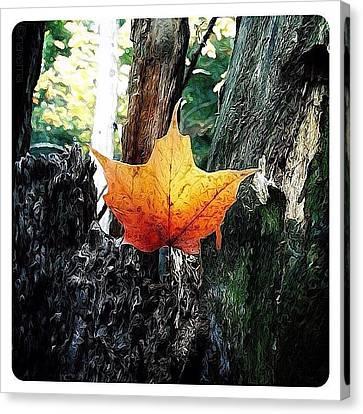 Maple Leaf Canvas Print by Natasha Marco