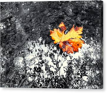 Maple Leaf Selective Color Canvas Print by Peter Mooyman