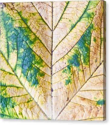 Maple Leaf Canvas Print by Tom Gowanlock