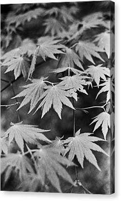Maple Leaves In Seoul Canvas Print by Julie VanDore