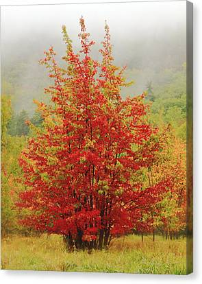Maples In The Mist Canvas Print by Roupen  Baker