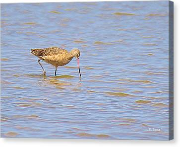 Marbled Godwit Searching For Food Canvas Print
