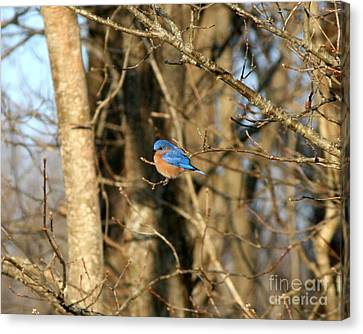 March Bluebird Canvas Print by Neal Eslinger