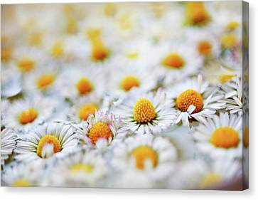 Marguerite Flowers Canvas Print by Uccia_photography