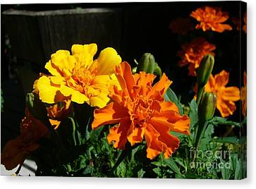 Canvas Print featuring the photograph Marigold Morning Glory by Jim Sauchyn