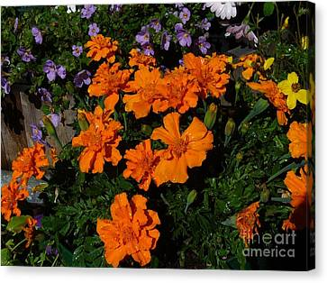 Canvas Print featuring the photograph Marigolds by Jim Sauchyn