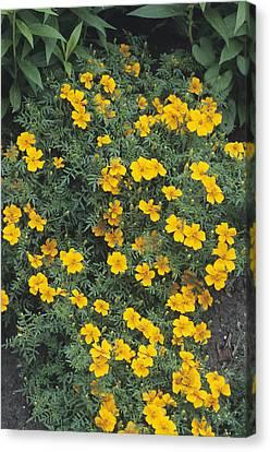 Marigolds (tagetes 'tangerine Gem') Canvas Print by Adrian Thomas