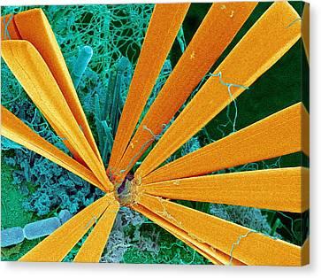 Marine Diatom Algae, Sem Canvas Print by Susumu Nishinaga