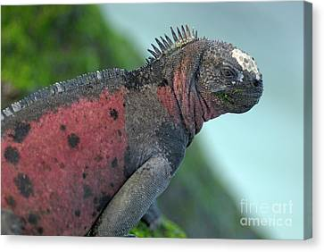 Marine Iguana On Rock Covered By Green Seaweed Canvas Print by Sami Sarkis