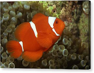 Maroon Clownfish With Sea Anemone Canvas Print by Comstock