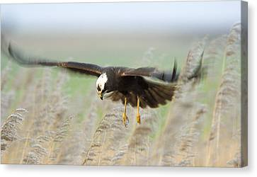 Marsh Harrier Canvas Print by Duncan Shaw