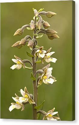 Marsh Helleborine (epipactis Palustris) Canvas Print by Bob Gibbons